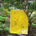 Yellow Sticky Trap 12 X 8  Inch