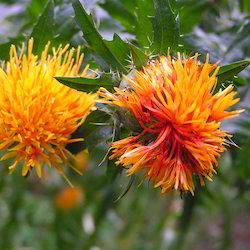 Safflower (yellow)