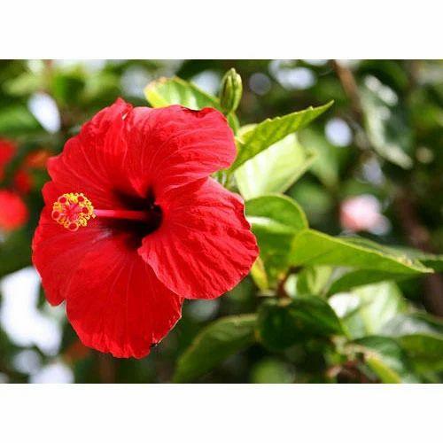Hibiscus Rosa Sinensis Flower At Rs 550 Kilogram Hibiscus Rosa