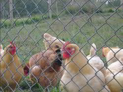 Iron Poultry Chain Link Fencing