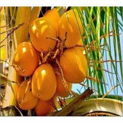 Fresh Yellow Coconut