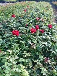 Divine Open Filed Rose Plants