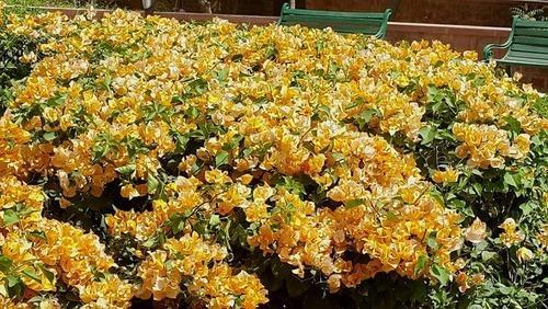 Yellow Bougainvillea | The Paradise Garden | Manufacturer ...