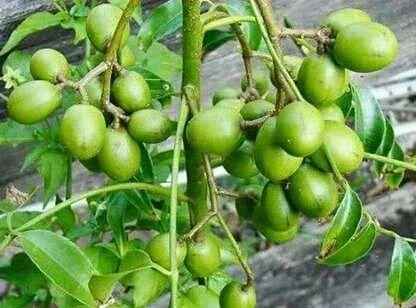 Amra Fruit Plants