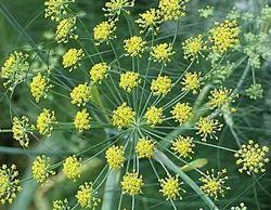 Fresh Fennel Herb