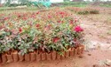 Dutch Roses Plant