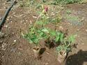 Gladiator Open Fild Rose Plant
