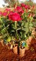 Taj.mahal (top Secret ) Dutch Rose Plants