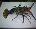 Lobster Bamboo Fresh