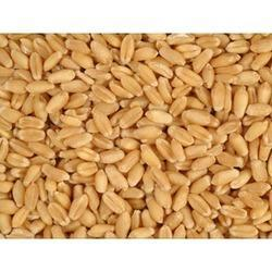 Lokwan Wheat