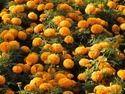 Royal Gold F-1 Hybrid Marigold Seeds
