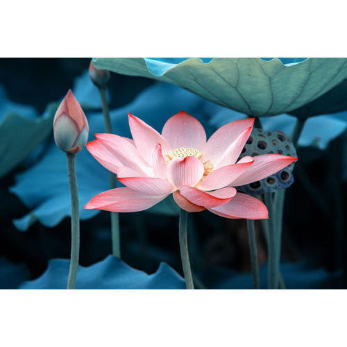 Lotus Flower At Rs 10 Piece Fresh Flower Id 13251353388