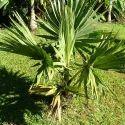 Borassus Flabellifer - Tal Till