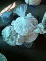 Oyster Mushroom Farm Fresh