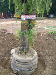 Medium Tree Transplanting Service