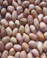 Peanut Java 50-60