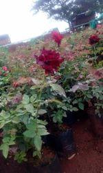 Black Red Rose Plants