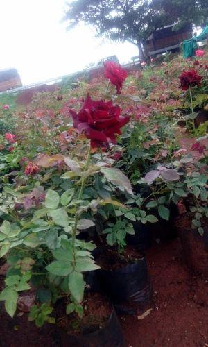 Rose Plants - Top Secret Dutch Rose Plants Manufacturer from