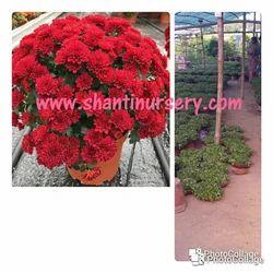 Crisumthimum New Variety Plant