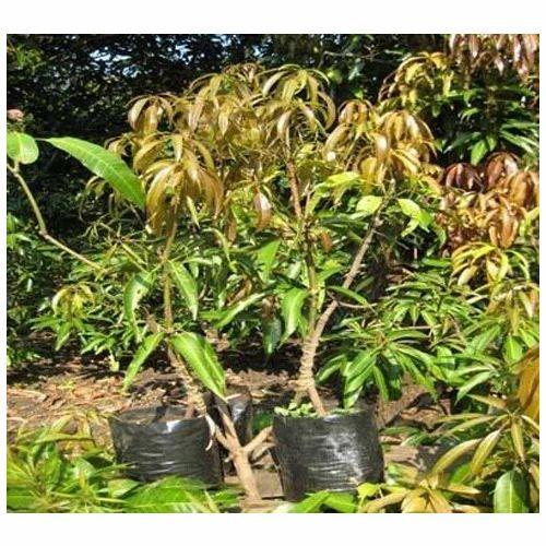 Nursery Mango Plant