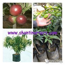 Thai Mango Red Plant