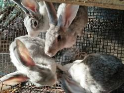 Breed Rabbits in Ernakulam - Latest Price & Mandi Rates from