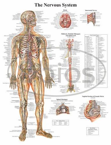 Nervous System - Anatomy Charts, मेडिकल चार्ट - Desh ...