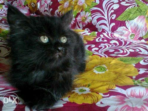 Persian cat price in sangli