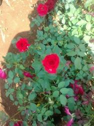 Deshi Rose Plants