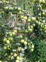 Thai Apple Ber Plants