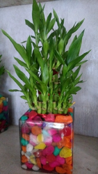 Lucky Bamboo With Stone