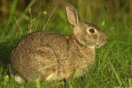 Kisan Rabbit Farm - Manufacturer of White Rabbit & American from Jodhpur