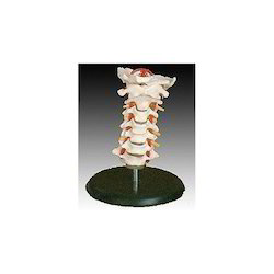 Vertebral Column and Spines Models