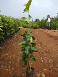 Thai Seedless Jamun Plant