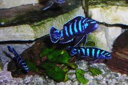 Demasoni Cichlid Fish, Size: 1-1.5
