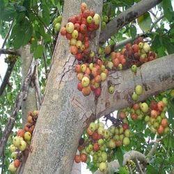 Ficus Racemosa Extract