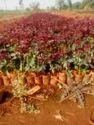 Secret Dutch Rose Plants