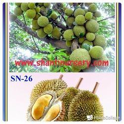 Durian Fruit Plant
