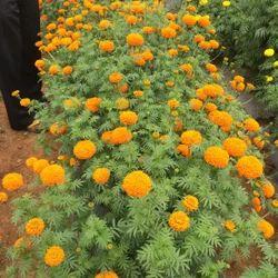 SAKURA SEED Marigold Seeds- F1 MARIA-091 ( Orange Color), For Sowing