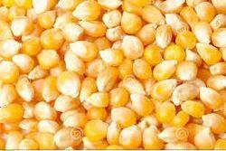 Indian Maize, Organic