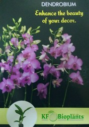 Dendrobium Orchid Plants For Commercial Cultivation