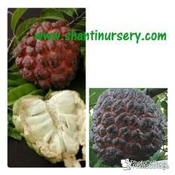 Custard Apple Red Fruit Plant