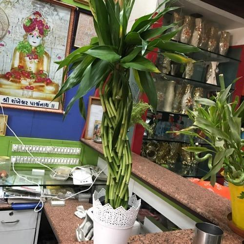 CAPPL Lucky Bamboo Plant