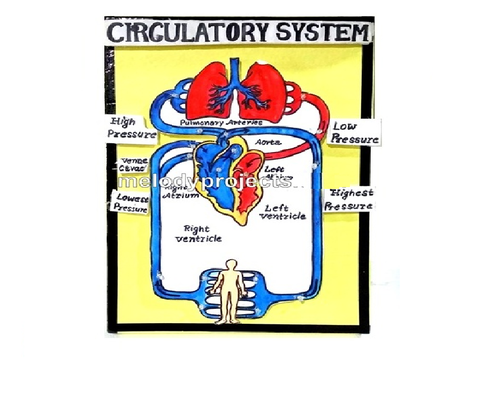 Circulatory System With Lights Models at Rs 450 /piece ...