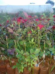 Top Secret Dutch Rose Plants