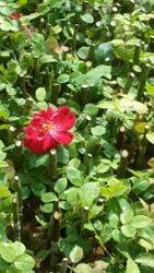 Divine, Open Feld Rose Plants