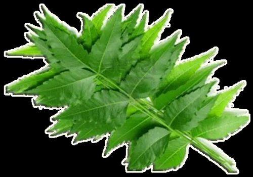Neem Leaves, नीम के पत्ते - View Specifications