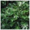 Xanadu Philodendron
