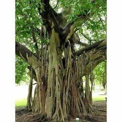 Ficus Lreligiosa - Pipala Chhal Extract