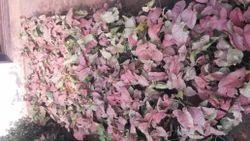 Syngonium Indoor Plants